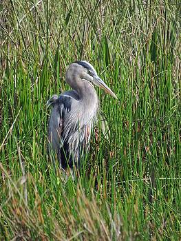 Great Blue Heron in the Sawgrass by Bill Marder