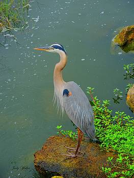 Great Blue Heron by Judy  Waller