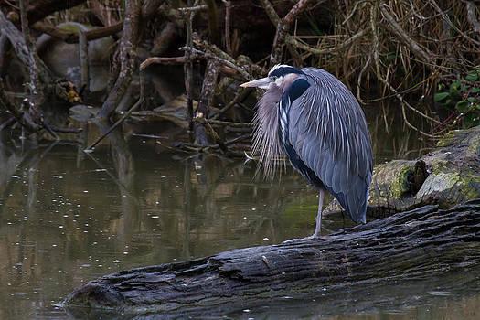 Great Blue Heron by Julie Jamieson