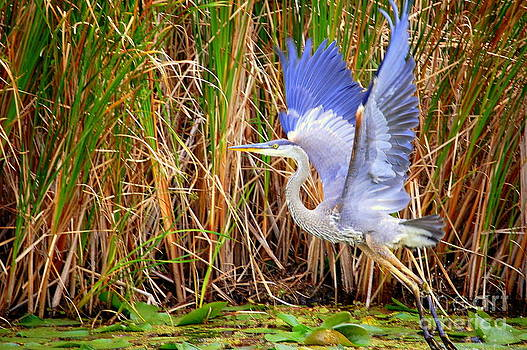 Linda Rae Cuthbertson - Great Blue Heron Lift Off