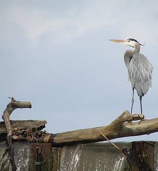 Great Blue Heron Looking Up by J C