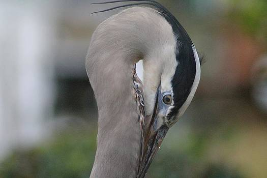 Great Blue Heron by Marcia Crispino