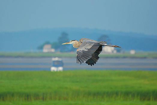 Great Blue heron by Nancy Landry