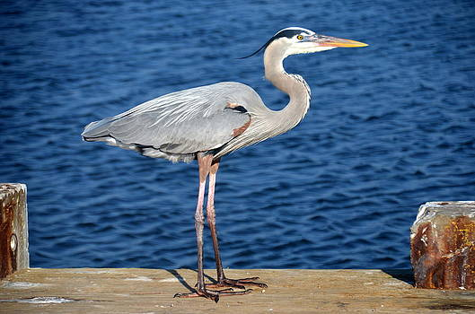 Linda Rae Cuthbertson - Great Blue Heron on Fishing Dock