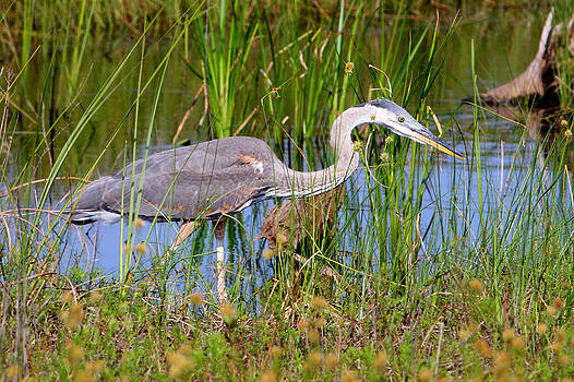 Great Blue Heron On The Move by David Kittrell