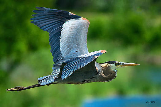 Great Blue Heron on the Platte by Stephen  Johnson