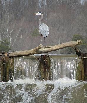 Great Blue Heron on Waterfall by J C