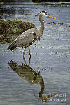 Great Blue Heron Oregon Coast by Carrie Cranwill