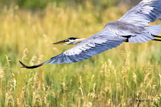 Great Blue Heron Over Belmar by Stephen  Johnson