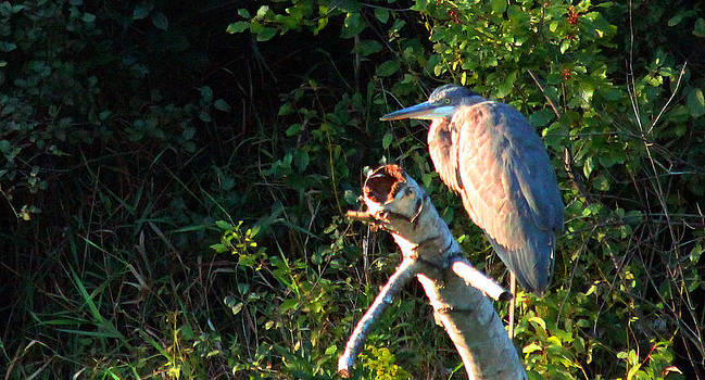 Great Blue Heron Perched by James Hammen
