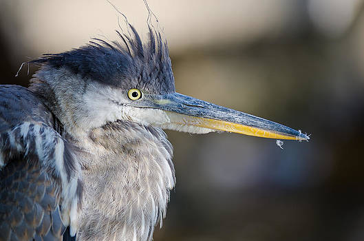 Great Blue Heron portrait by Daniel Forget