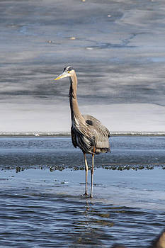 Great Blue Heron portrait by Jill Bell