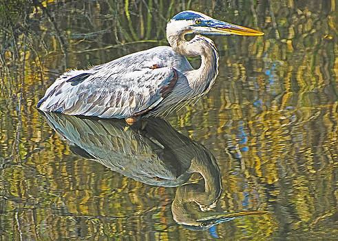 Dennis Cox WorldViews - Great Blue Heron Reflection