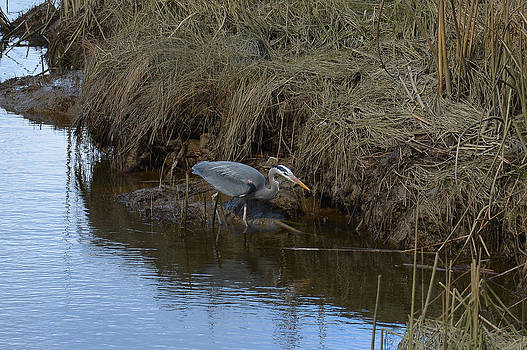 LAWRENCE CHRISTOPHER - Great Blue heron Searching