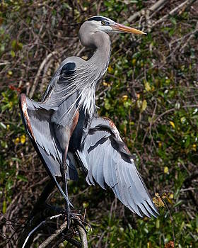 Great Blue Heron Sunning  by Erin Tucker