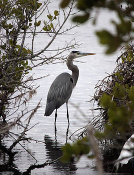 Great Blue Heron by Suzie Banks