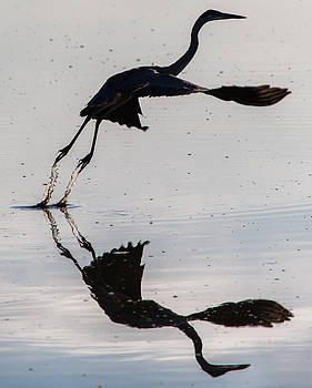 John Daly - Great Blue Heron Takeoff