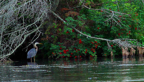 Great Blue Heron Wading by James Hammen