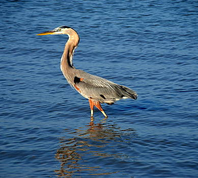Linda Rae Cuthbertson - Great Brown Heron Wading
