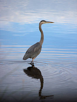 Great Blue Heron Wading by Suzie Banks