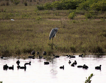 Suzie Banks - Great Blue Heron with Coots