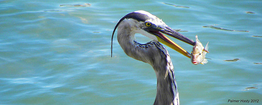 Great Blue Heron With Fish by Palmer Hasty