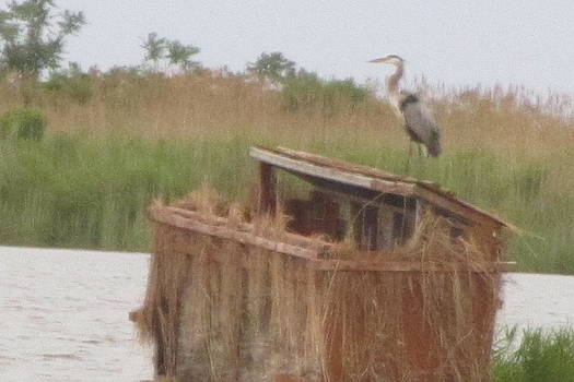 Great Blue Heron with Nesting Place by Debbie Nester