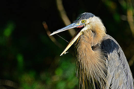 Great blue heron yawning by Jim Boardman