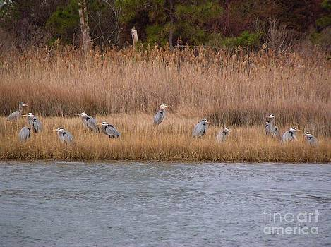 Christine Stack - Great Blue Herons in Mating Plumage