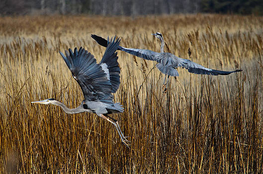 Great Blue Herons Spooked by Donna Harding