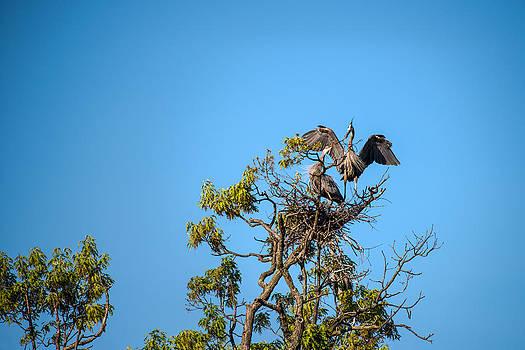 onyonet  photo studios - Great Blue Herons-The Handoff