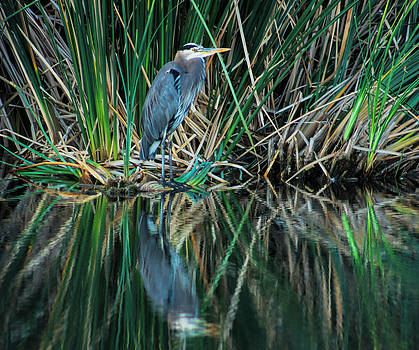 Great Blue Heron by Tammy Espino