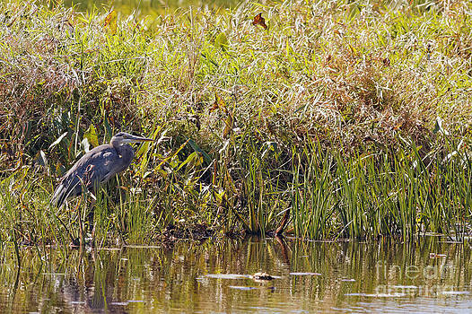 Great Blue in Necedah by Natural Focal Point Photography