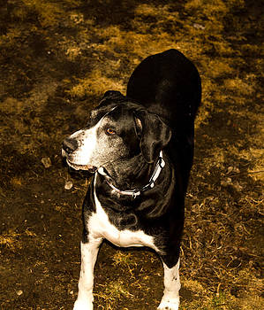 Great Dane by Tibor Co