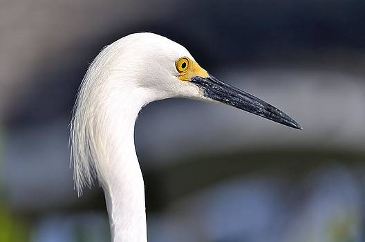 Great Egret by Andres LaBrada