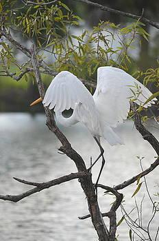 Great Egret Angel Wings by Diana Berkofsky