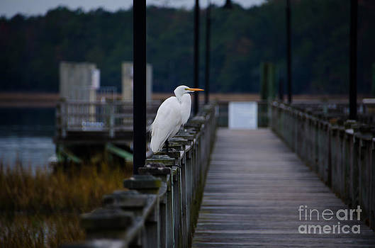 Dale Powell - Great Egret