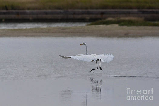 Great Egret Dancing by Terry Cotton