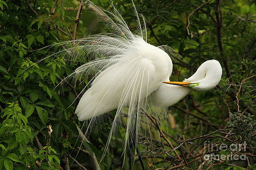 Great Egret Displaying by Jennifer Zelik