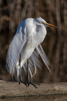 Great Egret by Don Baccus