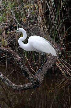 Doris Potter - Great Egret