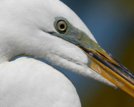 Erin Tucker - Great Egret Eye