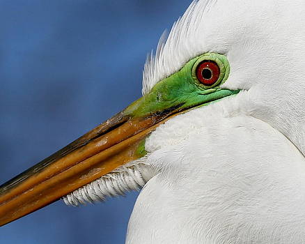 Great Egret Eye in Breeding Color by Erin Tucker