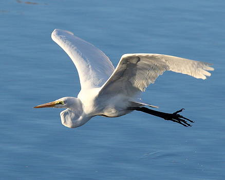 Great Egret by Henry Gray
