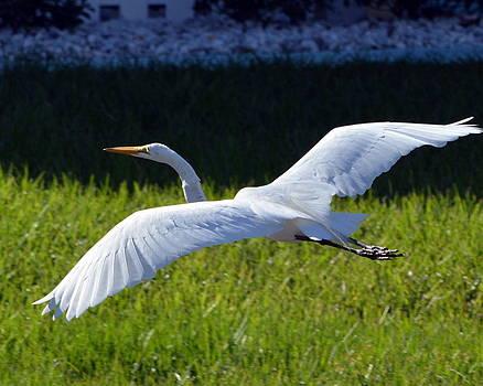 Great Egret In Flight by Diana Berkofsky
