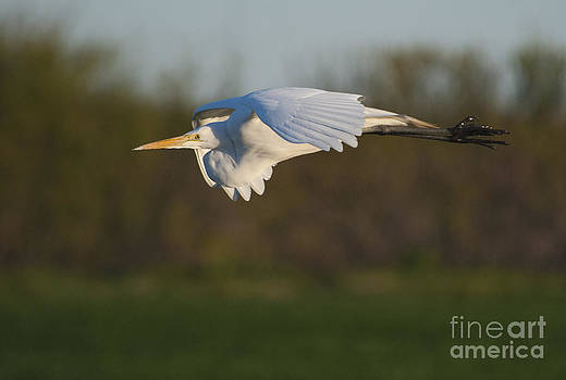 Great Egret in Flight by Heide Stover