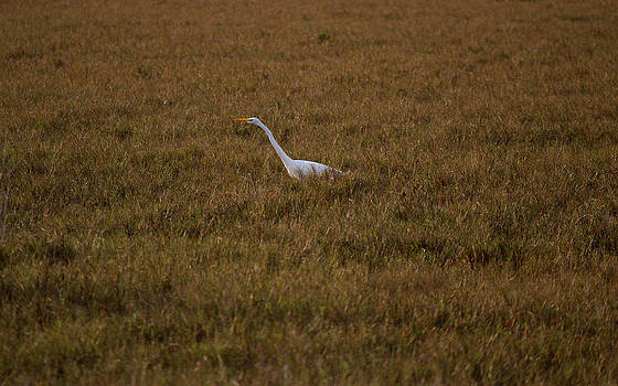 Suzie Banks - Great Egret in the Grass