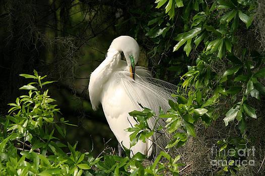 Great Egret Preen by Jennifer Zelik