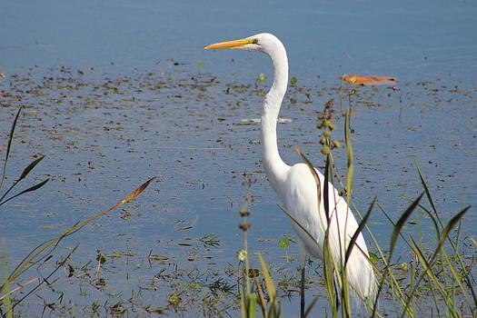 Great Egret thinking by Mark Perez