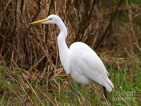 Tim Moore - Great Egret